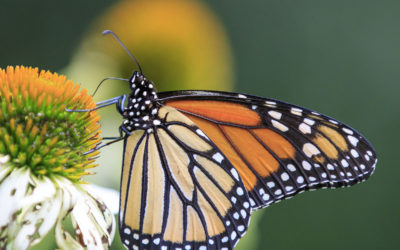 On a Mission to Save the Monarchs